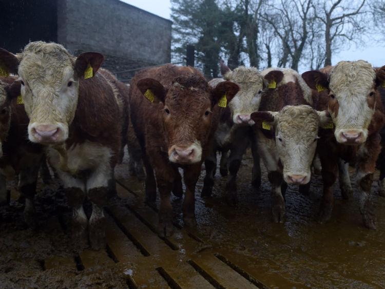 LIFFORD, IRLANDE - 9 JANVIER: Des vaches nourries à l'herbe dans l'élevage bovin de Raymond Palmer le 9 janvier 2015 à Lifford, en Irlande. Le bœuf irlandais a été approuvé pour la vente aux États-Unis pour la première fois depuis près de 16 ans suite à la levée de l'embargo sur les importations de bœuf européen en place depuis la flambée de l'ESB à la fin des années 1990. L'Irlande est le premier pays européen à avoir accès au marché américain. (Photo par Charles McQuillan / Getty Images)