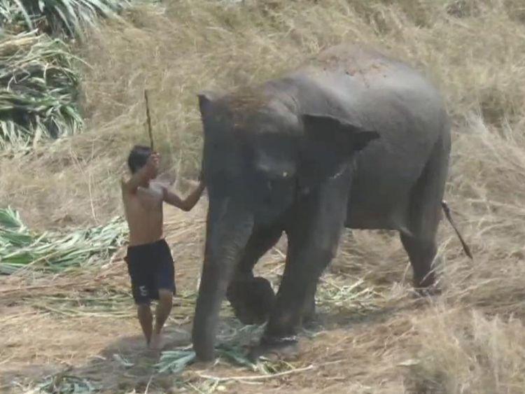 Un homme est filmé en train de battre un éléphant avec un insigne