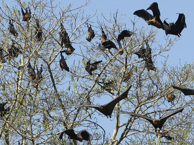Les chauves-souris frugivores dans un arbre à Amritsar, en Inde. Pic: fichier
