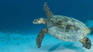 Une tortue explore la Grande Barrière de Corail. Pic: Jayne Jenkins