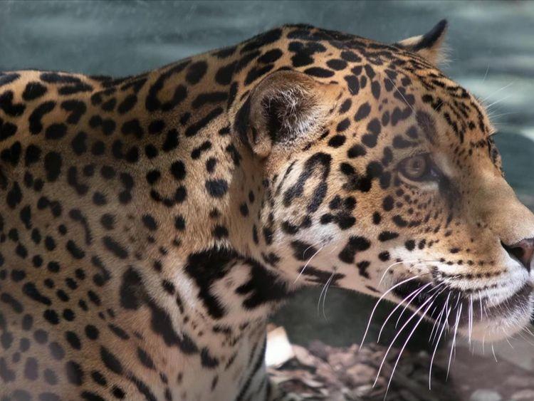 Le zoo a déclaré qu'il ne sera pas euthanasié après les attaques