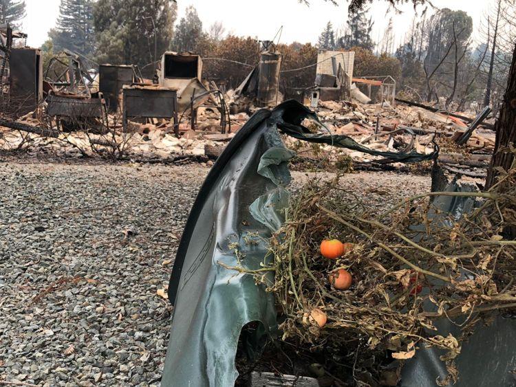 Une plante de tomate survit à l'incendie et repose sur une poubelle à roulettes fondue