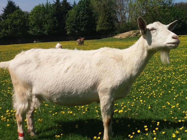 Chèvres au Sanctuaire des boutons d'or - Crédit Christian Nawroth