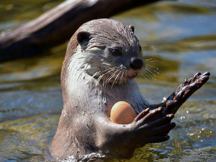 Une loutre à surface lisse joue dans une piscine pour se rafraîchir au zoo de La Flèche, dans le nord-ouest de la France