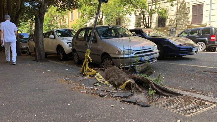 Racines de pin à Rome