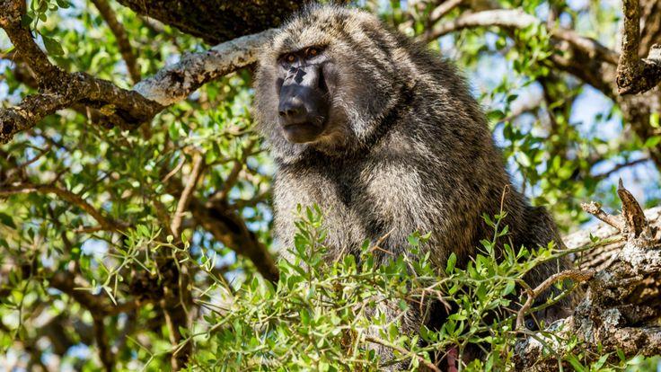 Un babouin aux olives, originaire de la RDC
