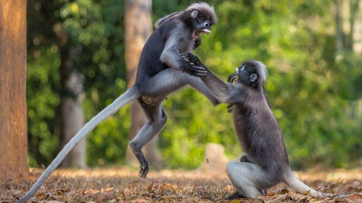 Sergey Savvi, deux singes à la feuille sombre