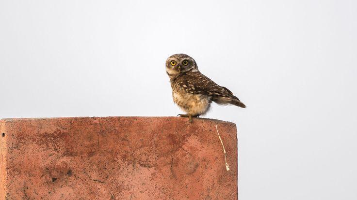 Poos de hibou sur le mur, par Arshdeep Singh - pour Comedy Wildlife Photography Awards