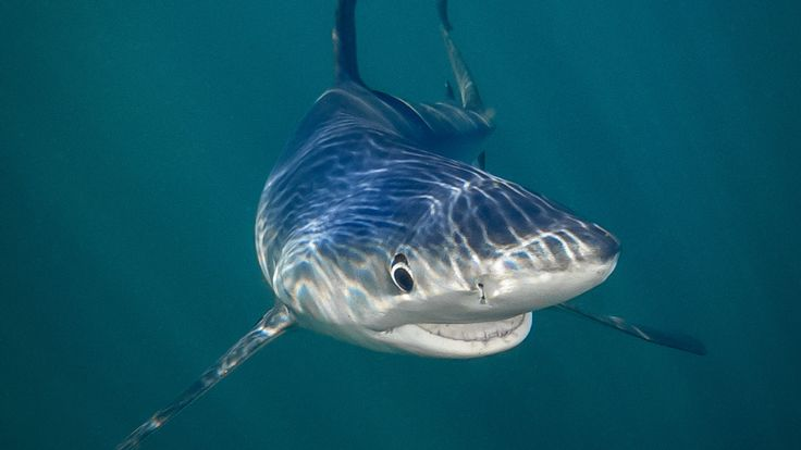 "Le requin bleu souriant de Tanya Houppermans a remporté le prix ""Sous la mer"" du Comedy Wildlife Photography Awards"