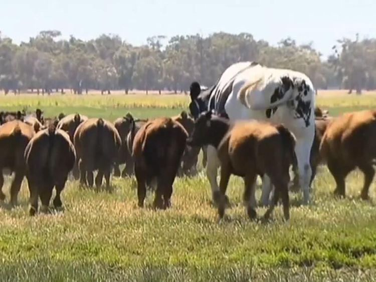 Culotte la vache