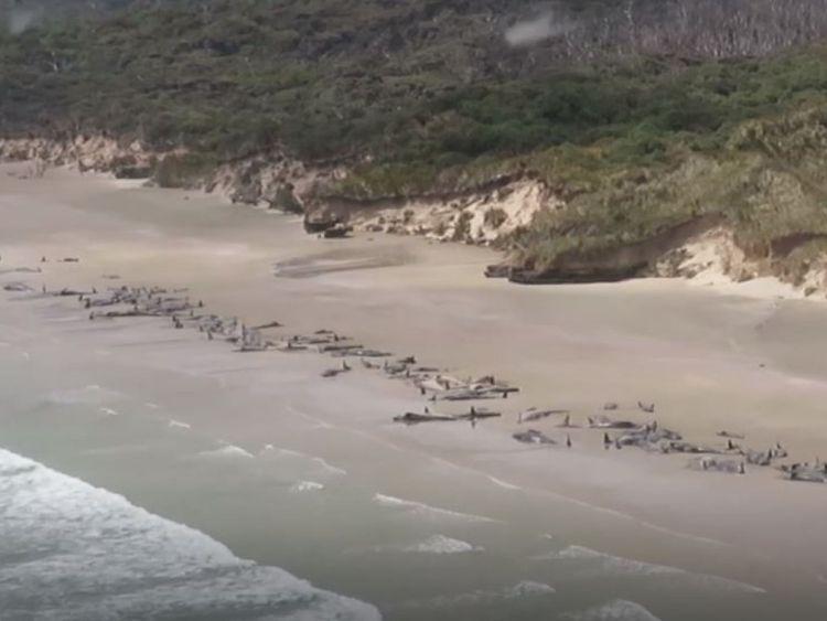 Les globicéphales se sont échoués sur l'île Stewart en Nouvelle-Zélande. Pic: Département de la conservation
