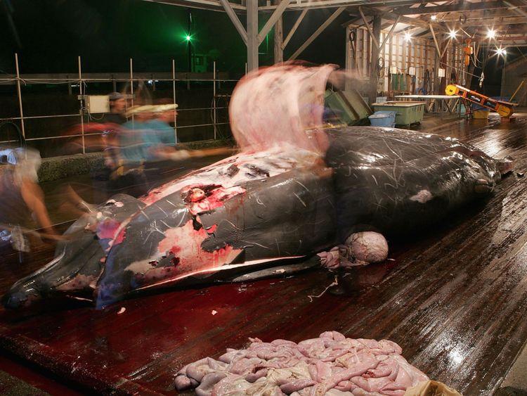 Les baleiniers japonais nettoient et coupent la viande d'une capture récente au port de Wada le 29 juillet 2005 à Chiba, au Japon