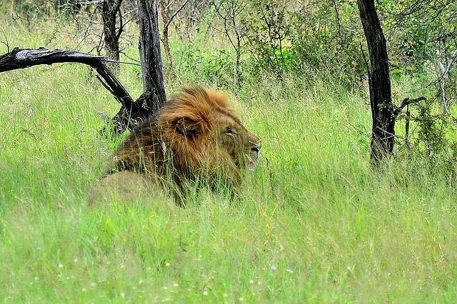 Kruger National Park Lion South Africa