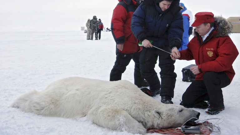 Vladimir Poutine et des scientifiques examinant un ours polaire sur l'île Alexandra Land dans l'océan Arctique, avril 2010