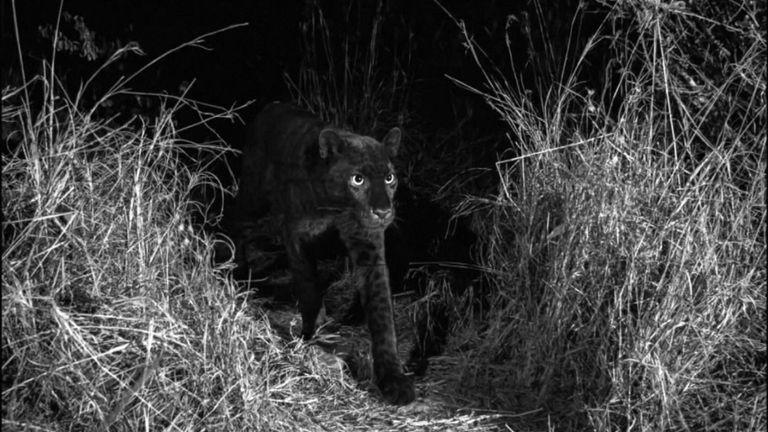 """Les léopards noirs portent une mutation génique pour le """"ménalisme"""". Pic: Will Burrard-Lucas"""