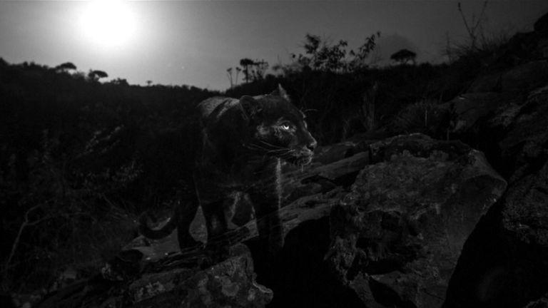Le léopard noir est très insaisissable. Pic: Will Burrard-Lucas