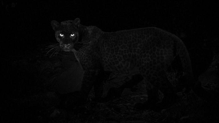 Les léopards sont encore plus difficiles à capturer que leurs parents inégaux. Pic: Will Burrard-Lucas