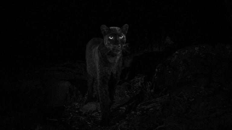 Les léopards sont en grande partie nocturnes. Pic: Will Burrard-Lucas