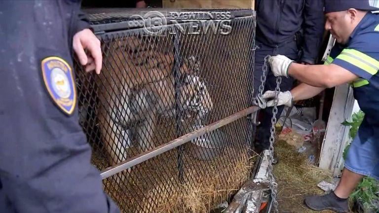 Le tigre a été sauvé après l'appel. Pic: Nouvelles ABC