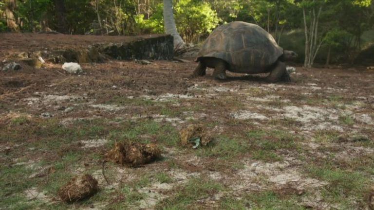 Une bascule a été trouvée dans les excréments de cette tortue