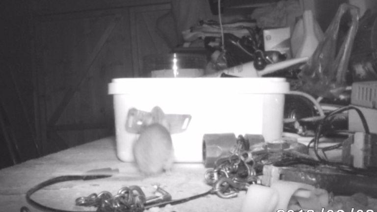 Le petit animal a soulevé une feuille de métal avant d'essayer de le ranger