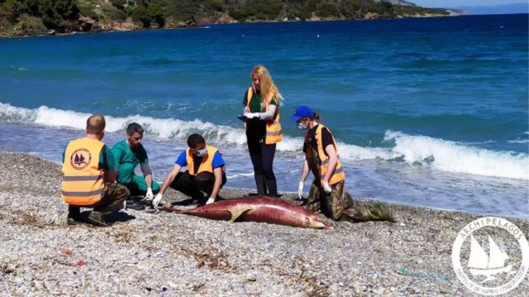 Les scientifiques s'inquiètent d'une augmentation du nombre de décès de dauphins et pensent que cela pourrait être la faute de la marine turque. Photo: Institut de conservation marine des archipels