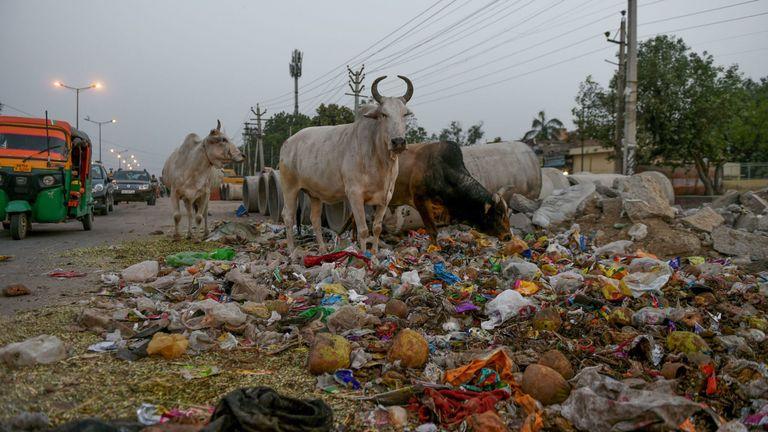Taureaux se nourrissent de déchets au bord d'une route à Faridabad, en Inde