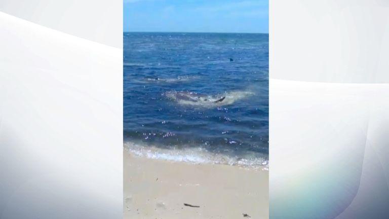 Les requins étaient en train de coraller un banc de poissons près du rivage. Pic: Magnus News / Greg MacKinnon