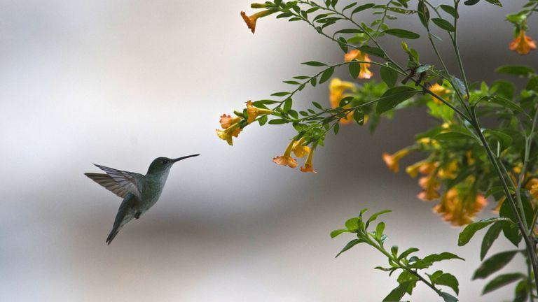 """Un colibri vole près d'une fleur lors du défi """"Birding Rally Challenge"""" à """"Aguas Calientes"""". Cuzco, le 5 décembre 2012. Le «Birding Rally Challenge» est un concours regroupant des équipes d'observateurs renommés. Les participants doivent couvrir le plus grand nombre possible d'habitats dans une zone géographique relativement petite et dans un temps limité, ce qui leur permet d'apprécier la biodiversité du Pérou. AFP PHOTO / ERNESTO BENAVIDES (Le crédit photo doit correspondre à ERNESTO BENAVIDES / AFP / Getty Images)"""