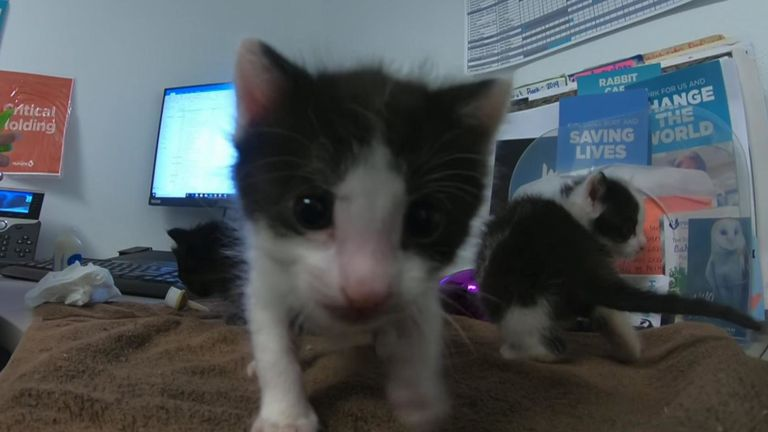 Les chatons seront proposés à l'adoption dans quatre semaines & # 39; temps. Pic: San Diego Humane Society