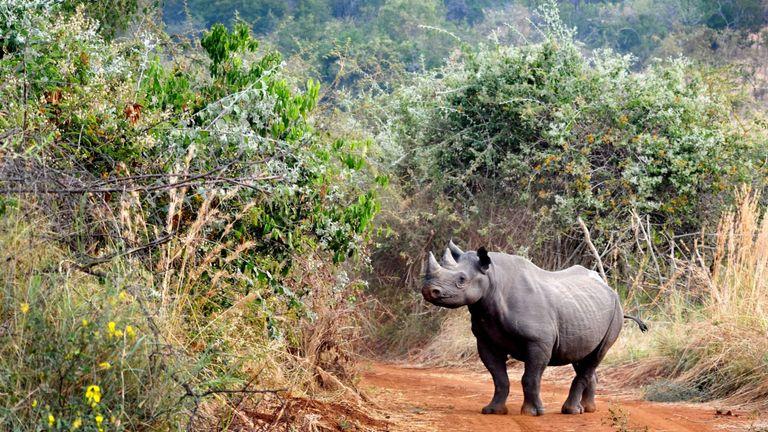 Ce rhinocéros noir a été transféré dans le parc national d'Akagera en 2017. Photo: African Parks