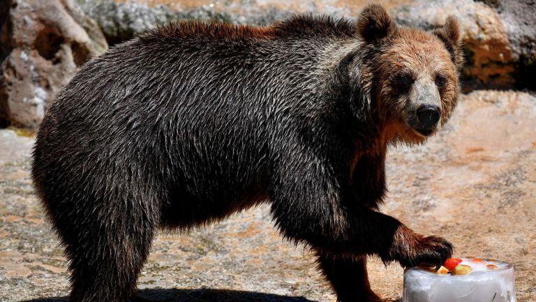 Un ours mange des fruits glacés pour se rafraîchir au zoo de Rome