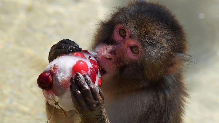 Un singe mange des cerises glacées pour se rafraîchir au zoo de Rome