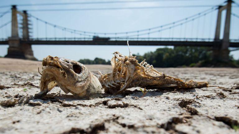 Une arête de poisson repose sur une partie sèche du lit de la Loire à Montjean-sur-Loire, dans l'ouest de la France, le 24 juillet 2019, alors que la sécheresse régnait sur une grande partie de l'Europe occidentale.