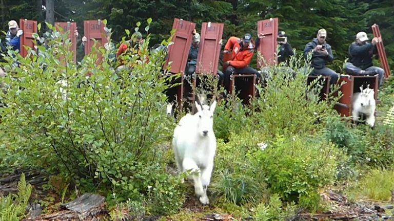 Les animaux seront transportés dans des caisses vers leurs montagnes natales des Cascades du Nord. Pic: parc national olympique