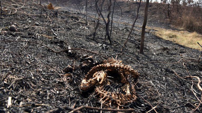 Les restes d'un serpent après un incendie de forêt dévastateur de 3 600 km carrés qui a frappé la Bolivie