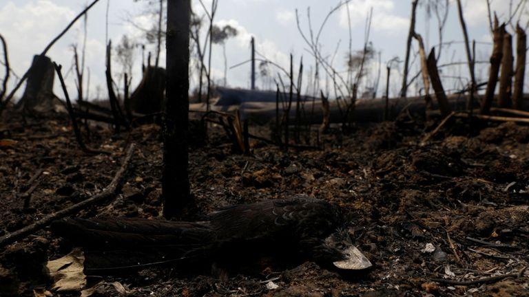 Un oiseau mort est photographié dans une étendue en feu de la jungle amazonienne à Porto Velho, au Brésil, le 25 août 2019. REUTERS / Ricardo Moraes
