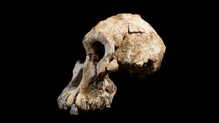 L'habileté a des millions d'années. Pic: Musée d'histoire naturelle de Cleveland