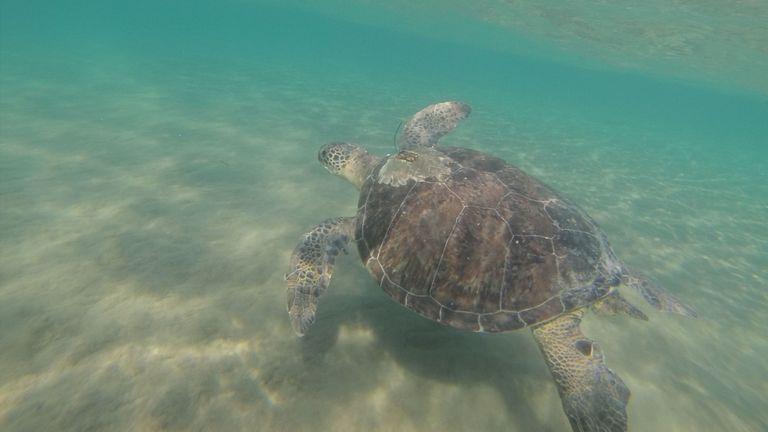 Les recherches suggèrent que les tortues vertes affamées se font avoir par du plastique qui ressemble à leur régime naturel