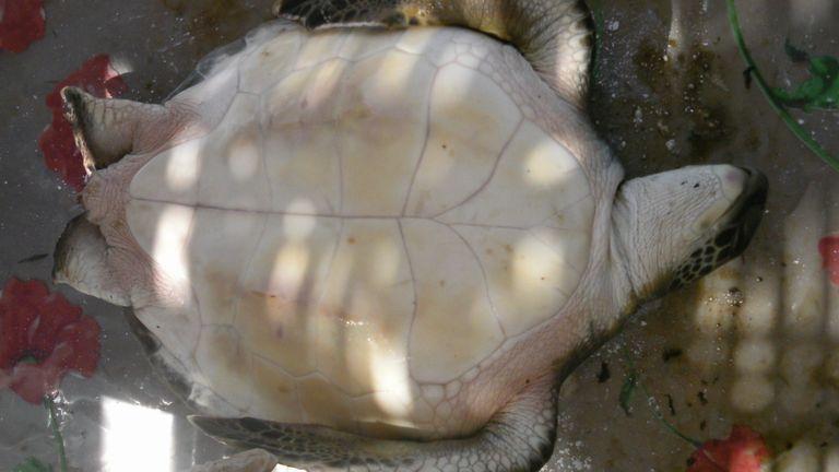 Les scientifiques ont déclaré que les petites tortues étaient plus susceptibles d'ingérer du plastique