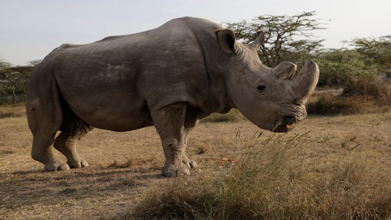 """Le dernier rhinocéros blanc nordique encore survivant du nom de """"Soudan"""". est vu à l'Ol Pejeta Conservancy à Laikipia, au Kenya, le 18 juin 2017. REUTERS / Thomas Mukoya"""