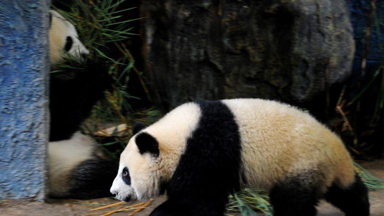 """POUR APPUYER SUR 'THAILAND-CHINA-ENTERTAINMENT-WILDLIFE-PANDA' par Kelly MacnamaraCette photo prise le 19 septembre 2010 montre une panda Linping (R) en train de passer devant sa mère, Lin Hui (L), dans un enclos situé dans le zoo de Chiang Mai. Linping, le premier panda géant du pays, faisait sensation avant même sa naissance, après des années d'insémination artificielle infructueuse et d'efforts pour amener ses parents à s'accoupler au zoo de Chiang Mai, dans le nord de la Thaïlande. La télévision du pays diffuse chaque jour une """"chaîne Panda"""" 24 heures sur 24, alors qu'un concours pour la nommer en 2009 a attiré 22 millions d'entrées. AFP PHOTO / PORNCHAI KITTIWONGSAKUL (Le crédit photo devrait correspondre à PORNCHAI KITTIWONGSAKUL / AFP / Getty Images)"""
