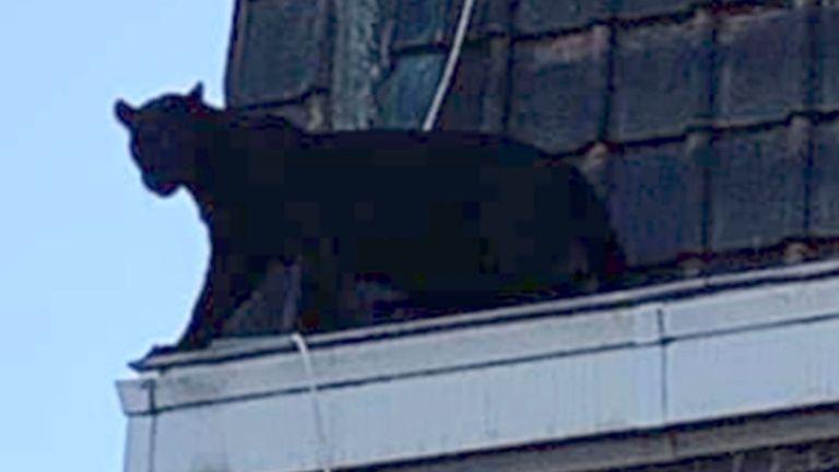 Une panthère sur la gouttière d'un immeuble à Armentières, dans le nord de la France