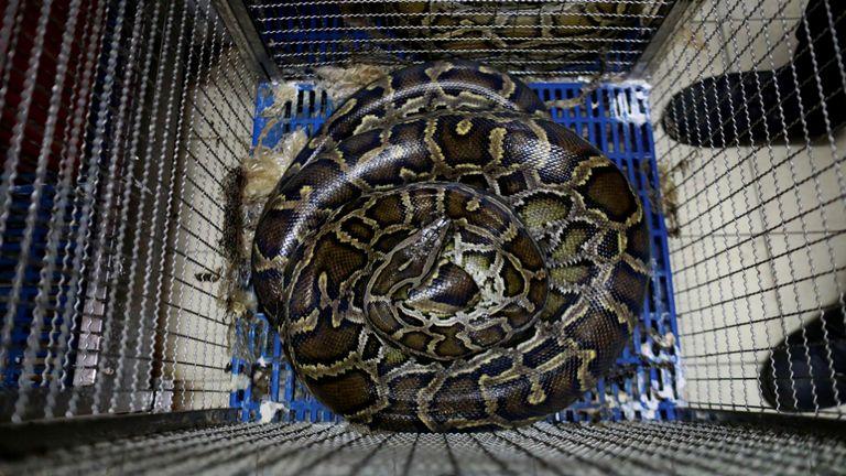Un serpent repose dans une cage à une caserne de pompiers à Bangkok, en Thaïlande, le 26 juin