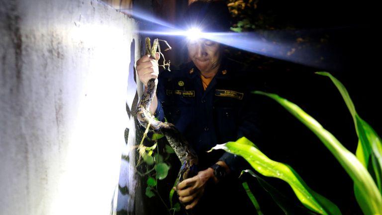 """Le pompier Pinyo Pukpinyo, connu sous le nom de """"wrangler serpent"""", tient un python qu'il a attrapé chez lui à Bangkok, en Thaïlande, le 27 juin. Les pompiers de Bangkok passent plus de temps à attraper des serpents qu'à éteindre des incendies, avec plus de 100 empiétements sur leur au cours des derniers mois, par rapport à un ou deux incendies, les données du service d'incendie et de secours de la ville montrent"""