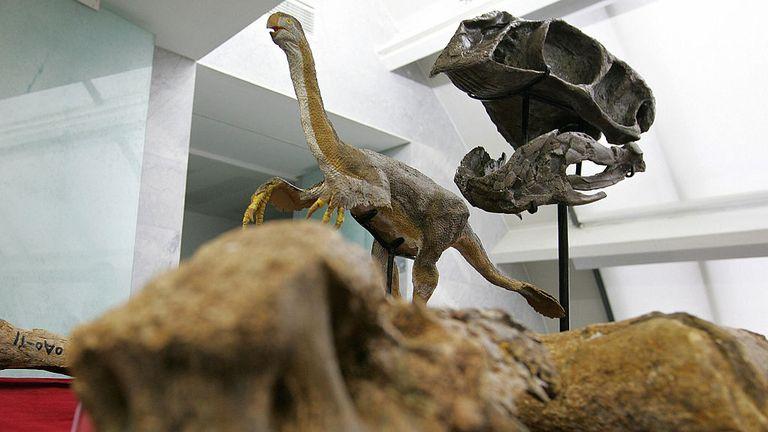 Pékin, Chine: les ossements fossilisés d'un gigantesque dinosaure théropode, Gigantorraptor erlianensis, sont exposés aux médias à Pékin, le 13 juin 2007, après la découverte des restes d'un gigantesque dinosaure étonnamment ressemblant à un oiseau en Mongolie intérieure, en Chine. L'animal, qui vivait à la fin du Crétacé (il y a environ 70 millions d'années), aurait une masse corporelle d'environ 1400 kilogrammes, ce qui est surprenant car la plupart des théories suggèrent que les dinosaures carnivores sont devenus plus petits à mesure qu'ils devenaient plus bi