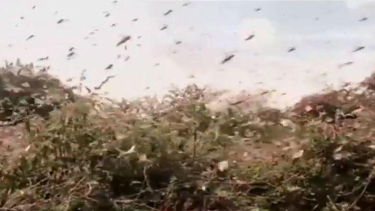 Le Kenya connaît la pire infestation de criquets en plus de 70 ans