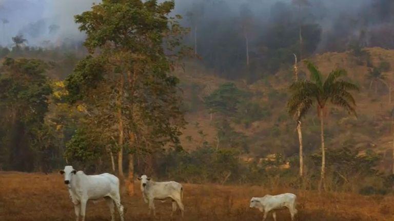 La forêt tropicale brûle derrière le bétail au pâturage