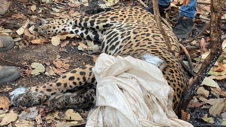 De nombreux jaguars qui ont survécu à la tempête de feu sont maintenant gravement blessés