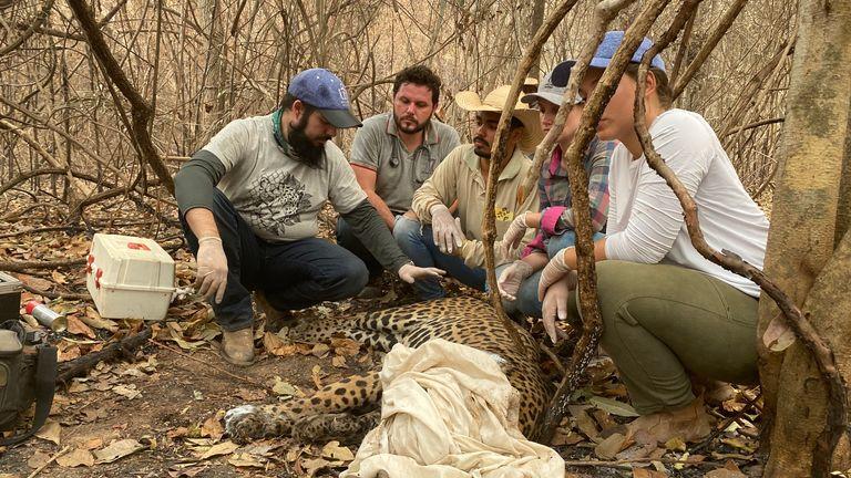 Eduarda Fernandes et son équipe soignent et blessent un jaguar
